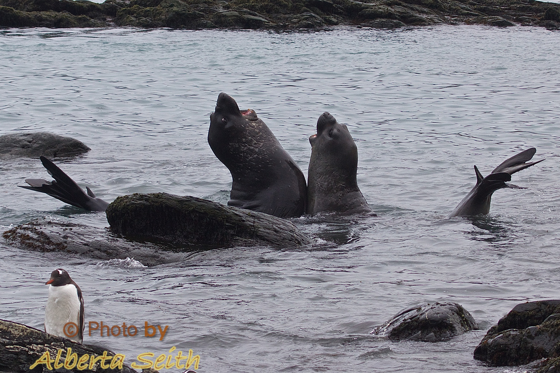 Like old men singing at the bar, elephant seals love to get together and belt one out.