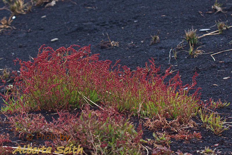 Red grass at Sea Lion Island