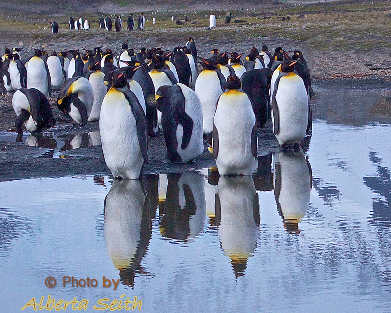 """King Penguins """"reflect"""" in a glacial stream on the St Andrews Bay beach"""