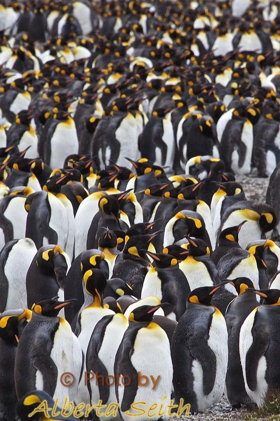 King Penguins mass at Fortuna Bay, South Georgia Island