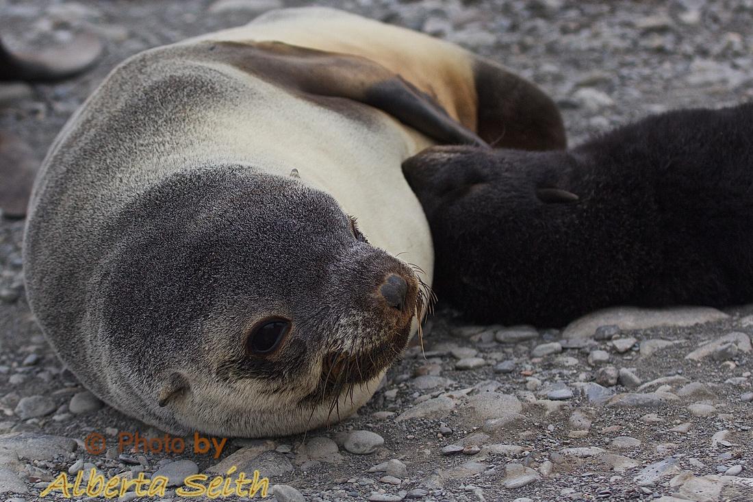 Nursing fur seal pup