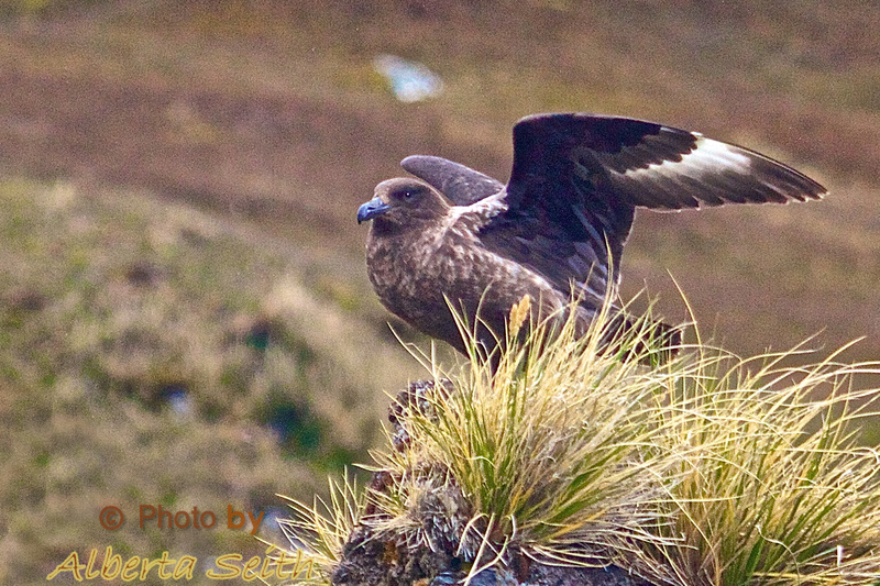 Skua about to take off searching for food