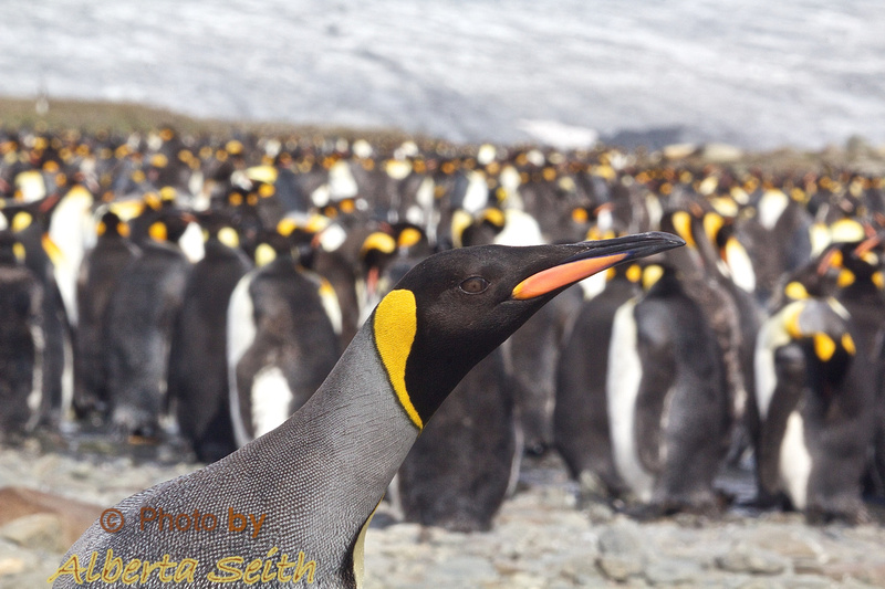 King Penguin backed by his flock, St Andrews Bay