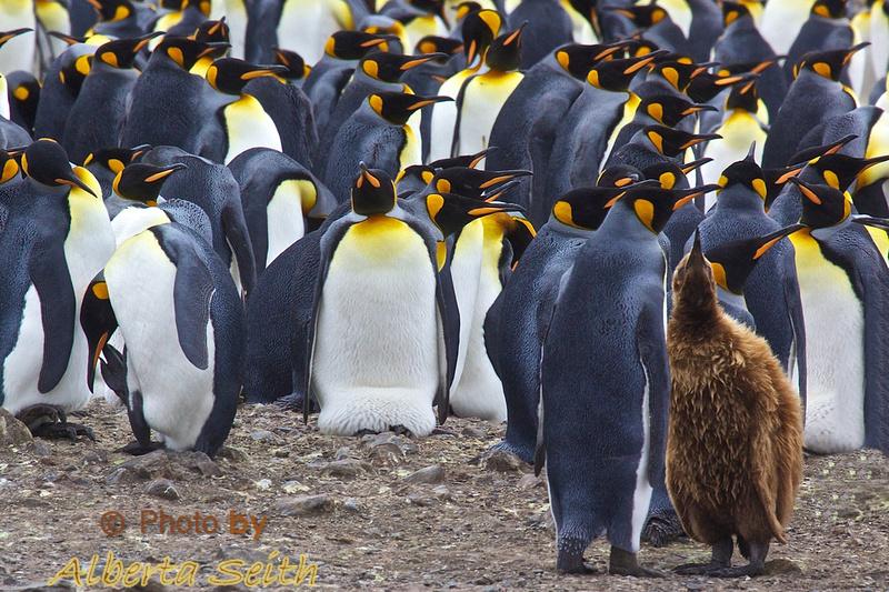 Oakum Boy and mom at King Penguin colony