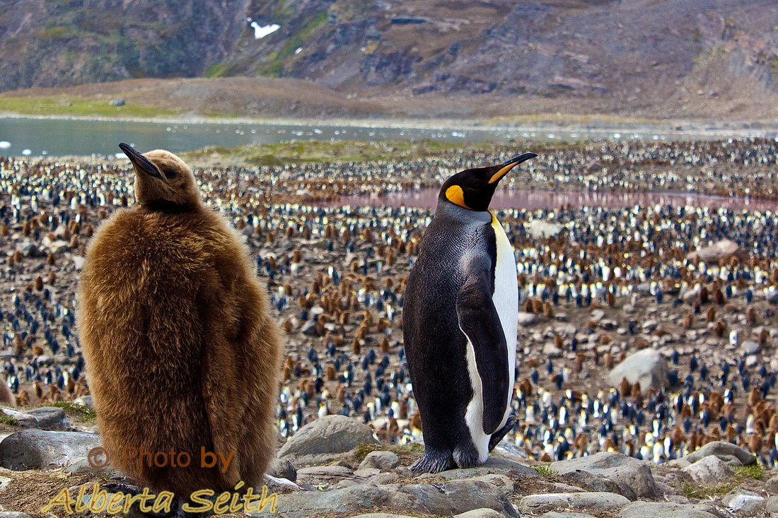 King Penguin colony- St. Andrews Bay, South Georgia
