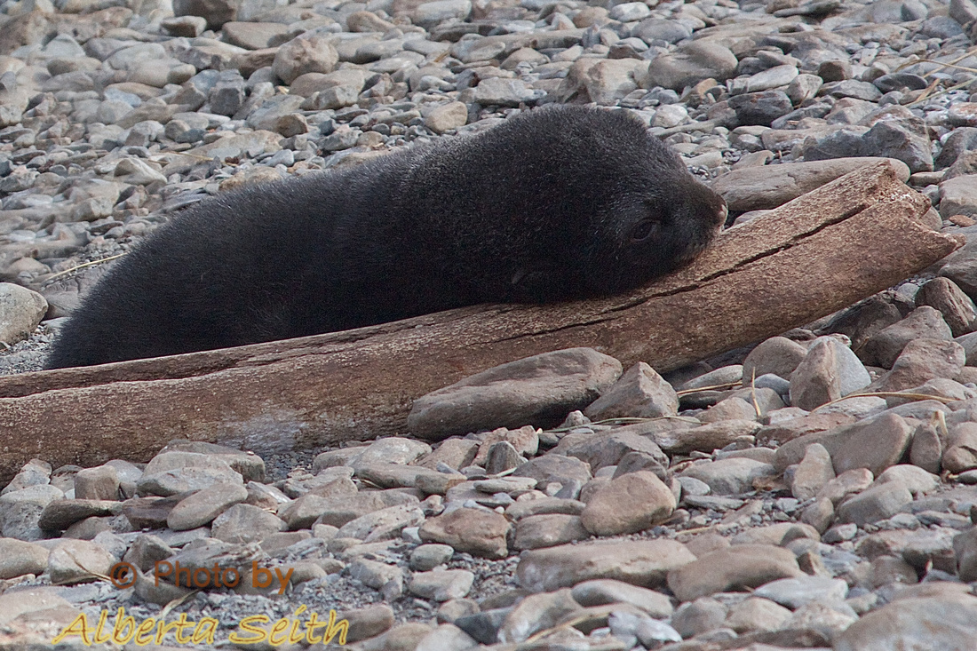 Seal pup resting on old whale bone