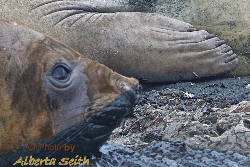 Manni-peddi anyone?  Elephant seal flippers