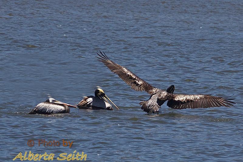 Chilean pelicans at Parque Ecologico La Isla Concon