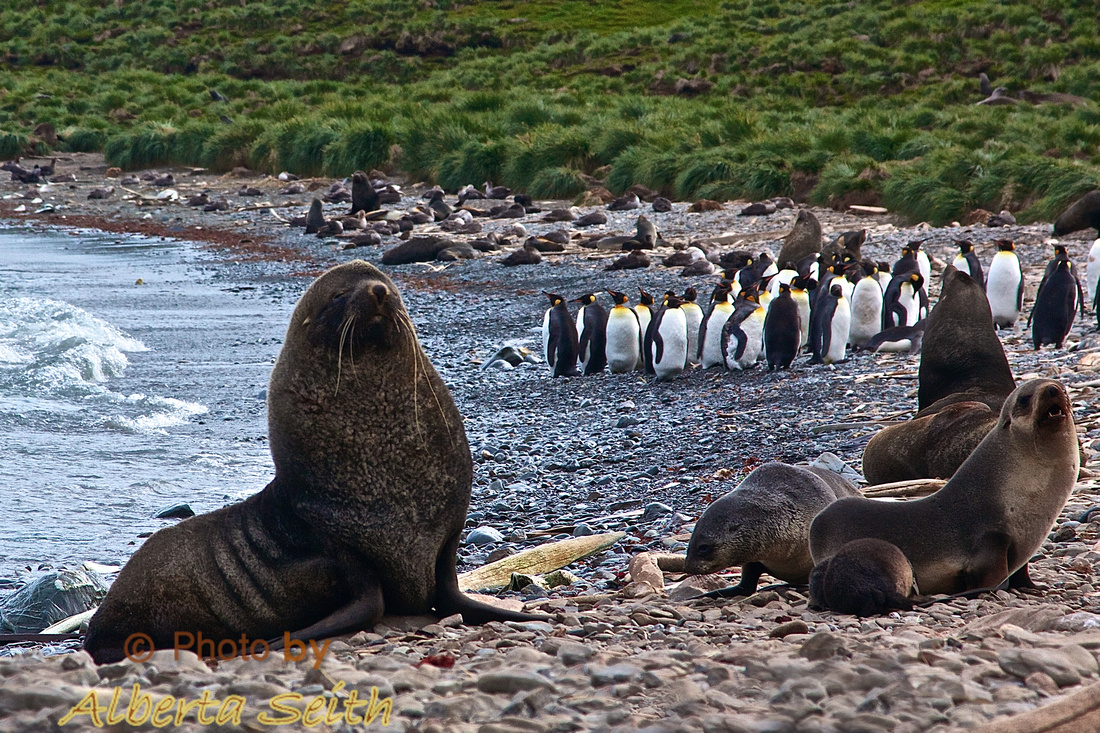 Fur seals flank King Penguins amid old whale bones at Godthul, the old Norwegian Whaling Station.