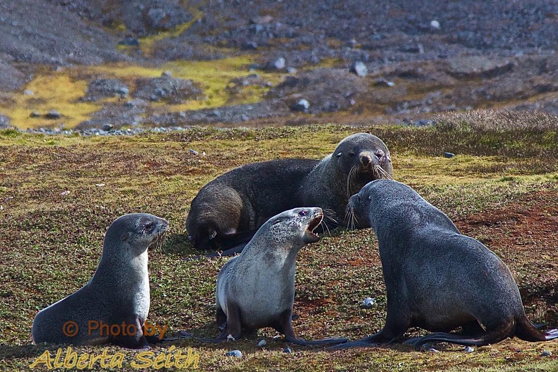 Adolescent fur seal