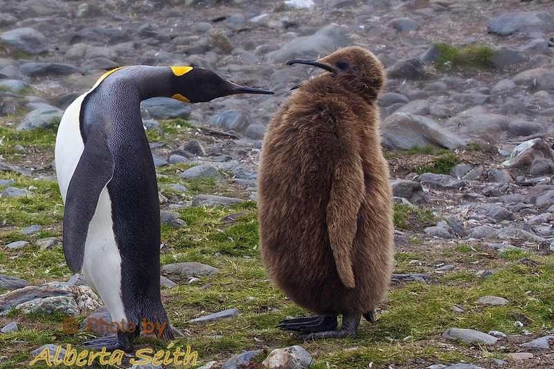 King Penguin and her BIG baby