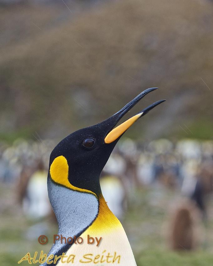 Talking King Penguin