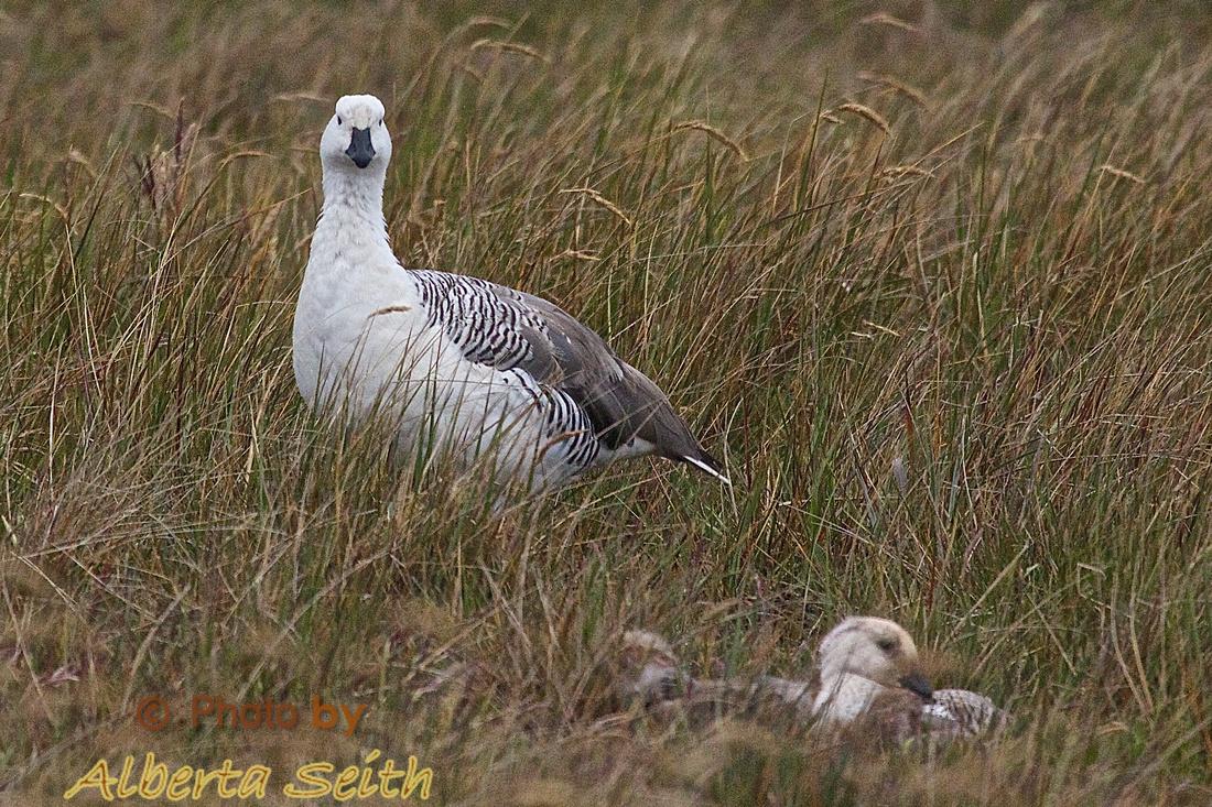 Upland Goose and chicks