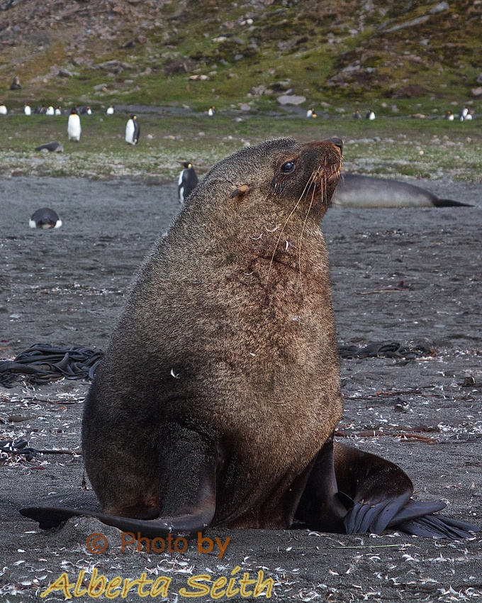 Scarred fur seal on St Andrews baeach