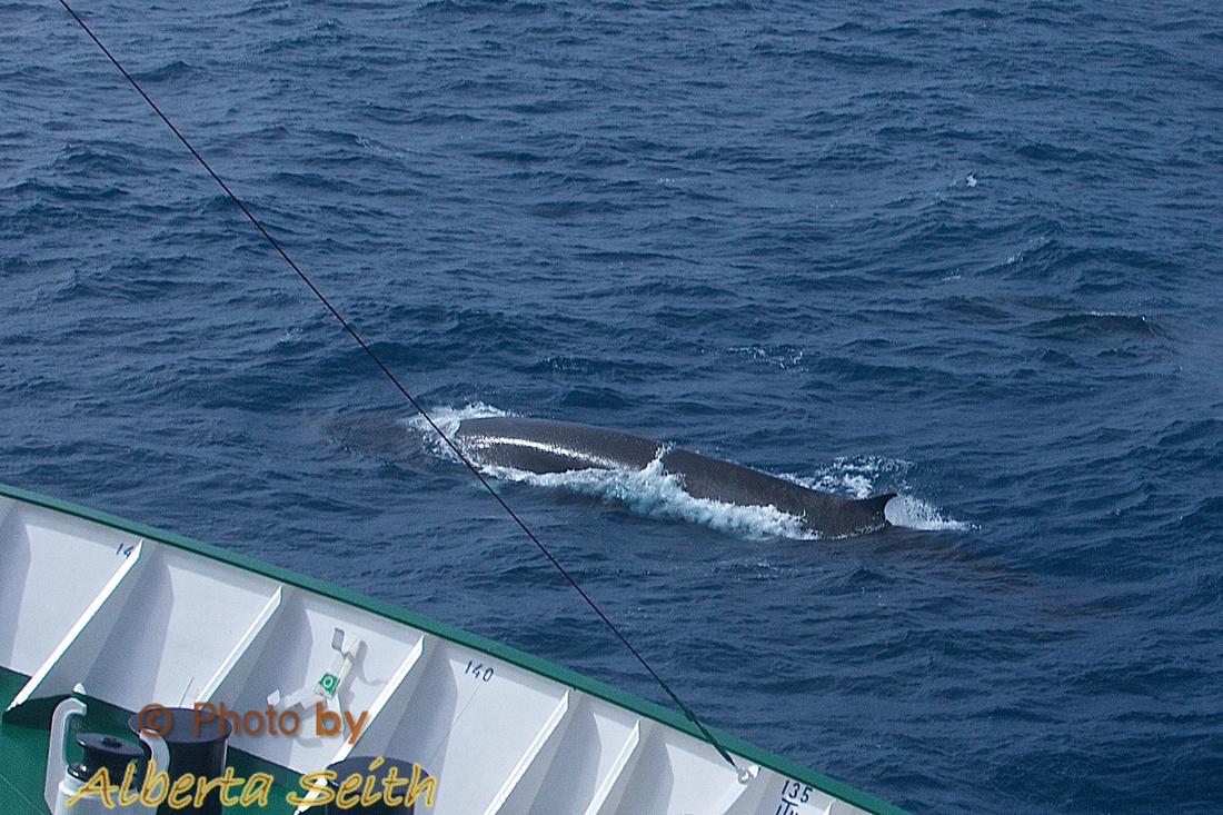 Fin Whales swim with the ship in the Drake Passage
