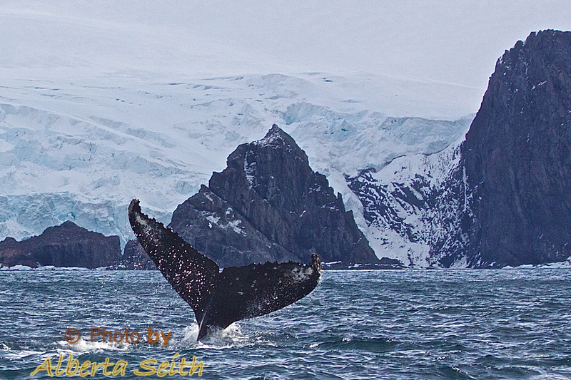 Humpback tail against Point Wild