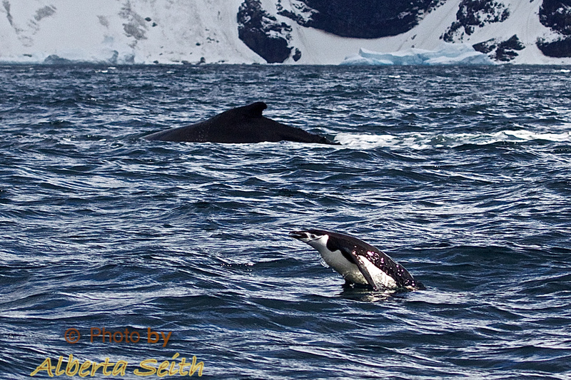 Chinstrap and humpback swimming off Point Wild.