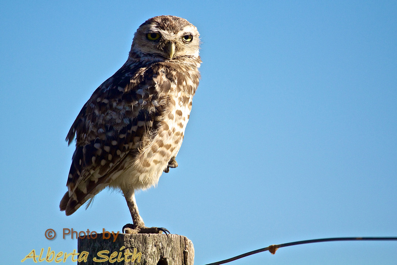 Burrowing owl at Estancia El Umbu de Areco