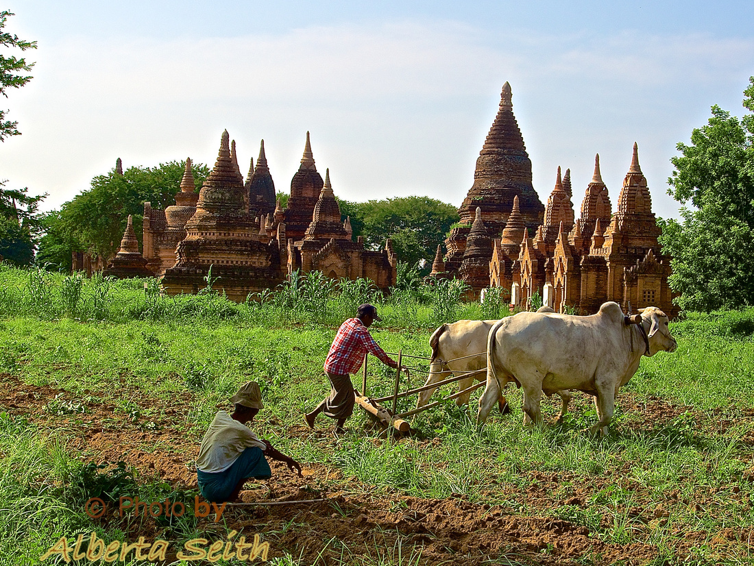 Plowing a Field in Bagan