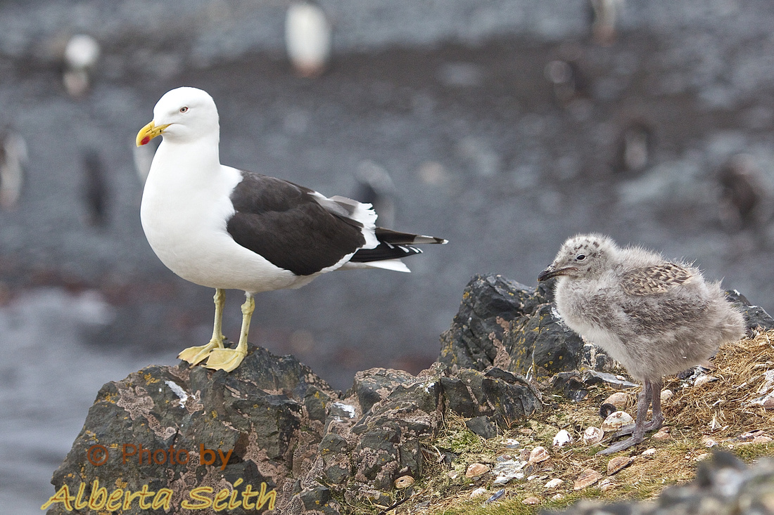 Southern Black-backed Gull and chick at Hannah Point