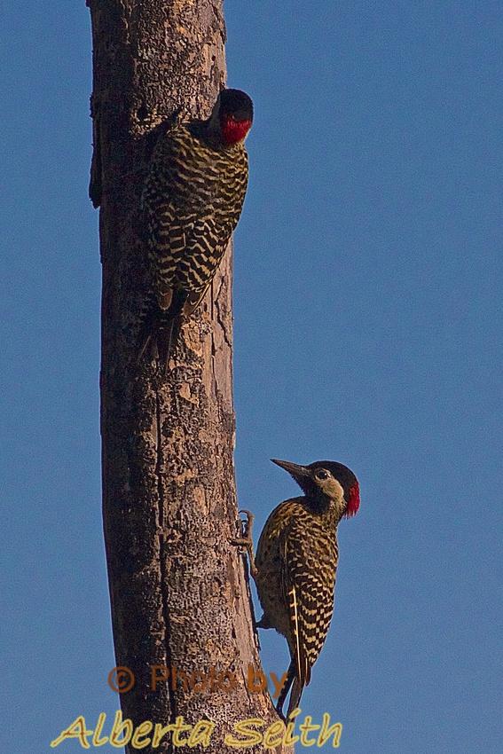 Golden Breasted woodpeckers at Estancia El Umbu de Areco