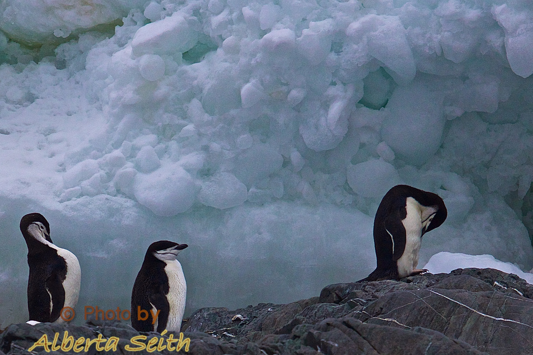 Chinstrap penguins at Point Wild.