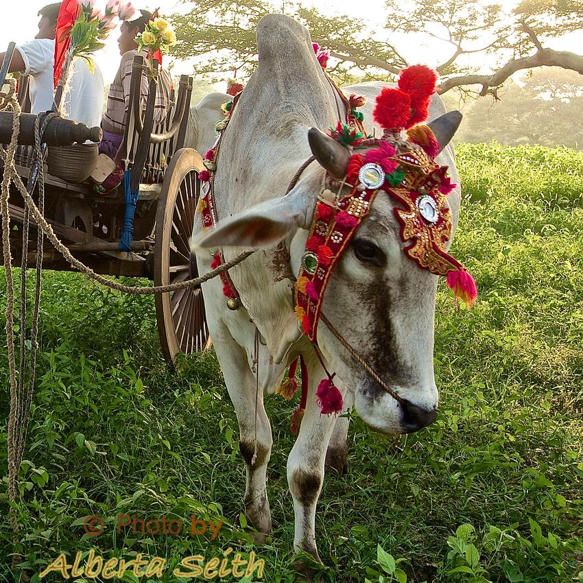 Bullock Carts Decorated for Festival- Bagan