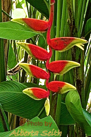 Flowering Hanging Lobster Claw